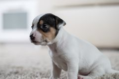Puppy dog jack russel terrier Royalty Free Stock Photography