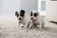 Puppy dog ​​jack russel terrier Royalty Free Stock Images
