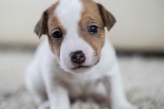 Puppy dog ​​jack russel terrier Stock Photo