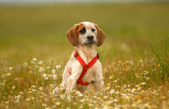 Puppy dog rests among flowers Stock Photography