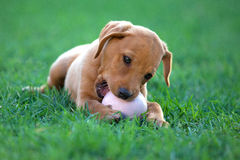 Puppy dog. ​​biting a ball Stock Images