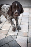 Puppy dog. Walking on concrete floor royalty free stock images
