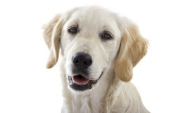 Puppy dog. Golden Retriever looking ahead - white background with copy space royalty free stock image