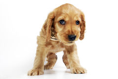 Puppy Dog Stock Photos