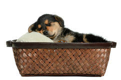 Puppy Dog. A puppy dog lying in a wicker basket is isolated against a white background Stock Photography
