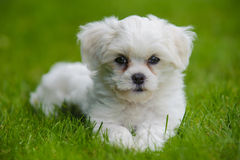 Puppy dog Stock Photography