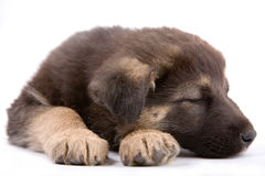 Puppy dog Royalty Free Stock Photography