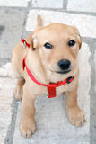 Puppy dog. Labrador retriever puppy dog with red collar Stock Image