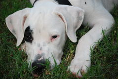 Puppy dog Royalty Free Stock Photo