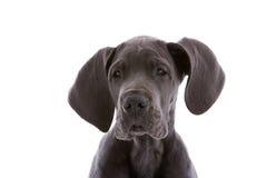 Puppy dog Royalty Free Stock Image
