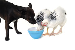 Puppy Dog And Chicken Eating Stock Photography