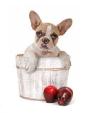 Puppy Dog In an Apple Barrel Studio Shot Stock Photos