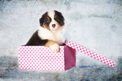 Puppy dog as a gift. An Australian Shepherd puppy dog in a box as a gift Stock Photography
