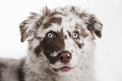 The puppy dog of Australian Shepherd Stock Photos
