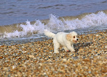 Puppy dog on beach. Photo of a beautiful pedigree puppy dog enjoying his day out on the beach in whitstable kent on 28th november 2014 Stock Photography