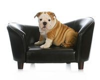 Puppy on a dog bed Stock Image