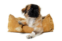 Puppy in dog bed Royalty Free Stock Images