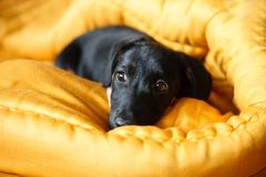 Puppy dog in bed Royalty Free Stock Image