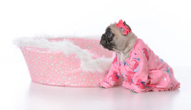 Puppy in a dog bed Royalty Free Stock Image