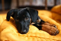 Puppy dog in bed Stock Images