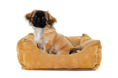 Puppy in dog bed. A sweet puppy is resting in a dog bed. Taken on a white background royalty free stock image