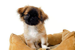 Puppy in dog bed Stock Photos