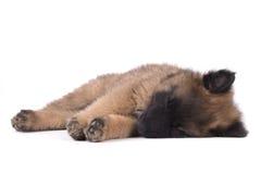 Puppy dog, Belgian Shepherd Tervuren, sleeping, studio backgroun Stock Image