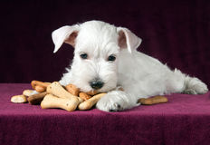 Puppy with dog biscuits bones Stock Photography