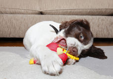 Puppy dog biting toy Royalty Free Stock Photography