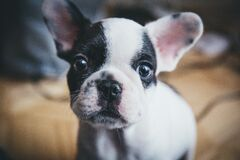 Puppy dog with black and white face