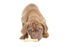 Puppy with dog bone. Close up of a Dogue De Bordeaux puppy eating a dog bone Stock Photography