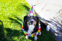 Puppy Dog Border collie Happy birthday celebration hat party. Cute dog celebrating his birthday with a party hat royalty free stock photo
