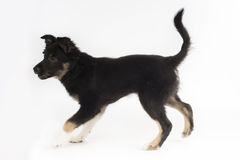 Puppy dog, Border Collie, white studio background Royalty Free Stock Photos