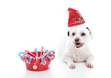 Puppy dog beside bowl of Christmas candycanes. A small white maltese terrier lying beside a bowl of sweet red and blue Christmas candycanes Stock Image