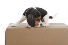 Puppy dog on a box in a studio Stock Photos
