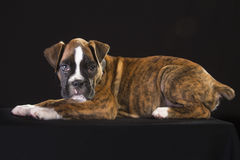 Puppy dog Royalty Free Stock Photos