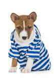 Puppy dog breed Basenji Royalty Free Stock Image