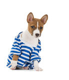 Puppy dog breed Basenji Stock Photography