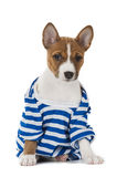 Puppy dog breed Basenji Royalty Free Stock Images