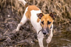 Puppy Dog breed fox terrier on the hunt Royalty Free Stock Photos