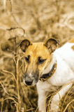 Puppy Dog breed fox terrier on the river on the hunt Royalty Free Stock Photo
