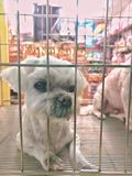 A white puppy dog in the cage of a pet store. Looks sad and unhappy. A puppy dog in the cage of a pet store. Looks sad and unhappy Royalty Free Stock Photo