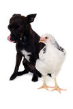 Puppy dog and chicken Royalty Free Stock Photos