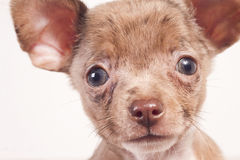 Puppy dog close-up. Chihuahua puppy close-up on a white background Stock Photo
