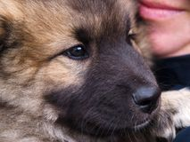 Puppy dog in closeup Royalty Free Stock Images