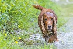 Puppy dog cocker spaniel coming to you Stock Photos