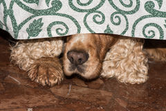 Puppy dog cocker spaniel hiding under the coach Royalty Free Stock Photos