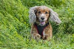 Puppy dog cocker spaniel portrait Royalty Free Stock Photo