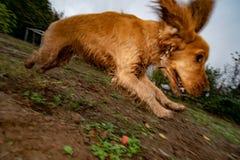 Puppy dog cocker spaniel running in the autumn courtyard. Puppy dog cocker spaniel running in the aun green courtyard stock photography