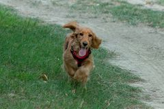 Puppy dog cocker spaniel running on grass Royalty Free Stock Photos